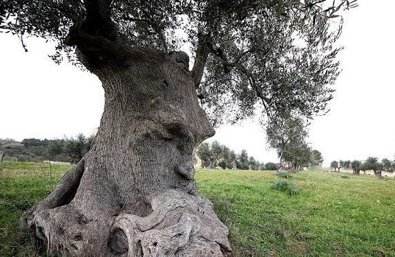 Una storia magica: l'ulivo PENSANTE